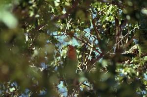 Rosenköpfchen